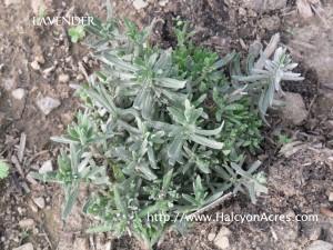 lavender at halcyon acres