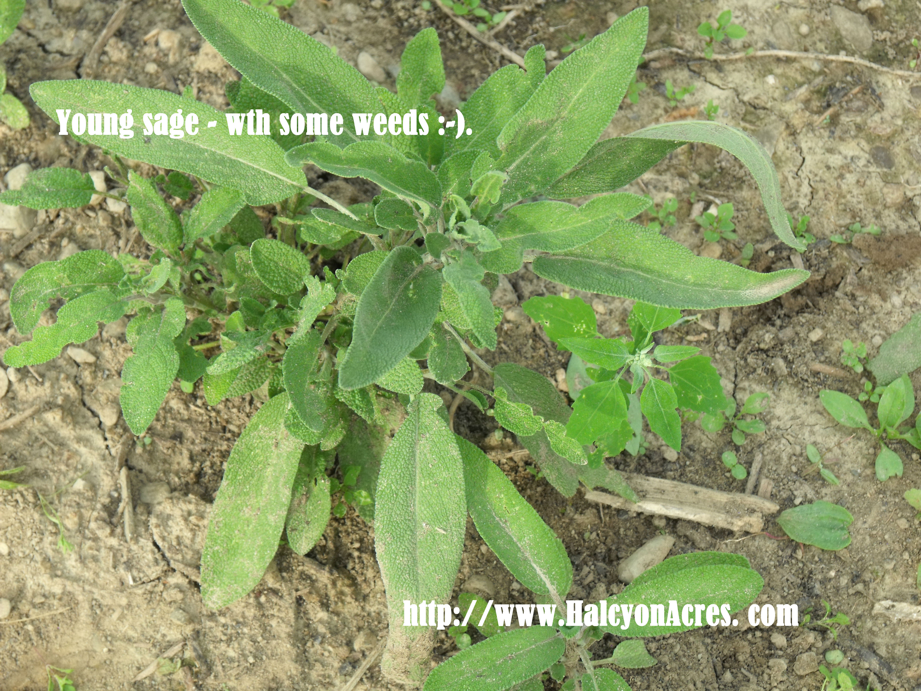 Consider Including Sage As A Hearty Tasty And Fun