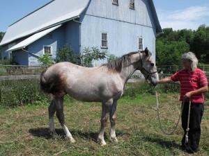 Irish Draught Sport Horse colt