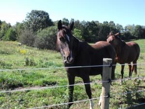 Irish Draught Sport Horse gelding