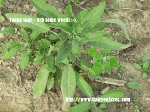 what does young sage look like?