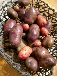 Chemical free produce including purple potatoes at Halcyon Acres in Roanoke